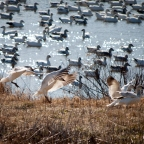 Migrating Snow Geese Flock to Middle Creek